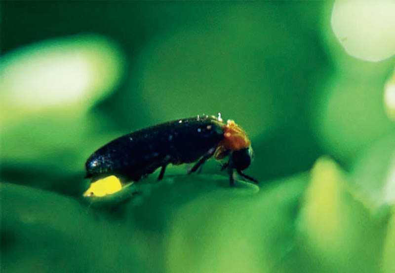 螢火蟲容易受到驚嚇而死亡,因此賞螢時,不可抓取牠們。(圖/新竹縣旅遊網提供)