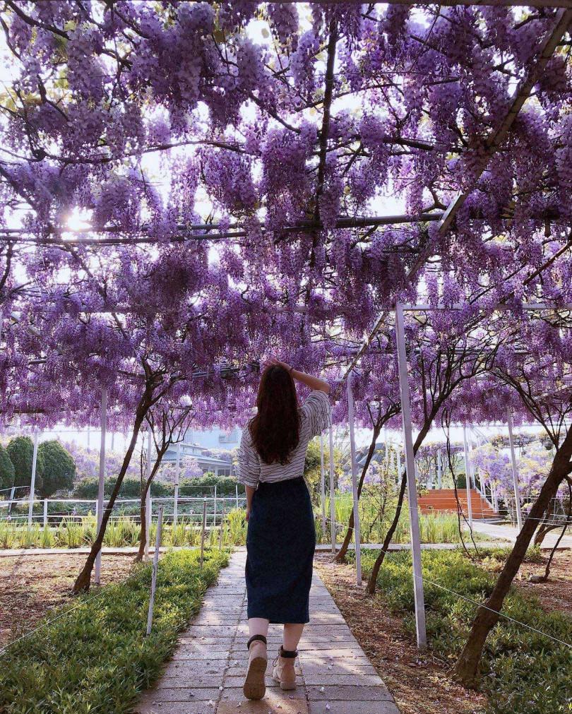 美麗的紫藤花吸引不少遊客來此拍照。(圖/照片為去年花況,翻攝自紫藤咖啡園粉專)