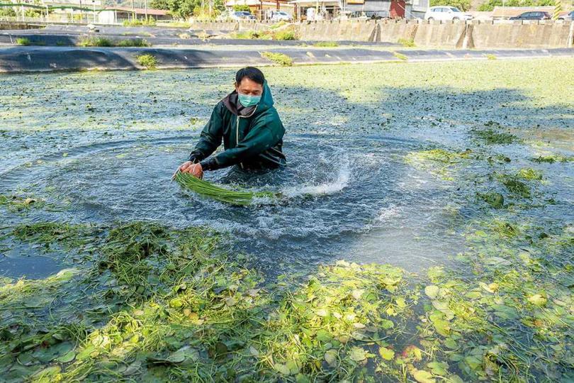 「李氏野蓮家」的老闆李煥生在田裡示範採收野蓮過程。(圖/焦正德攝)