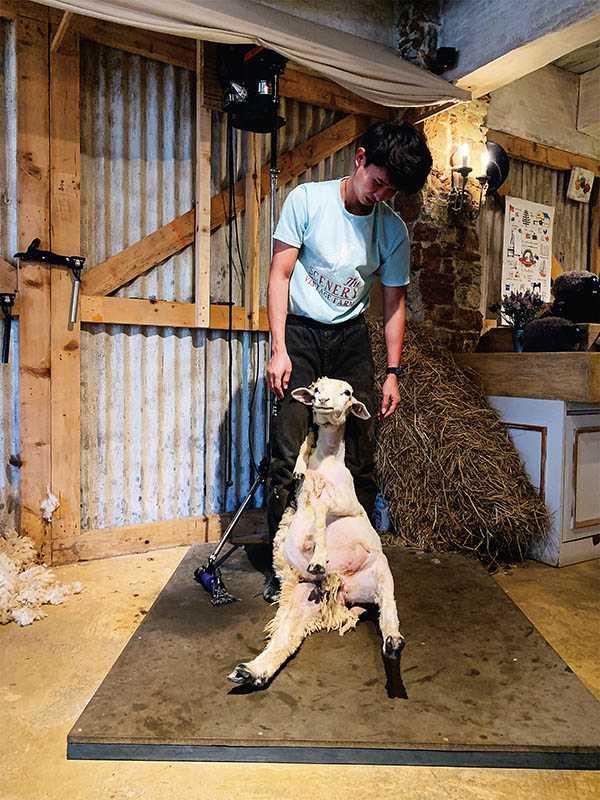 入園門票已包含每日一場的綿羊秀,可近距離觀賞剃羊毛的過程,並聆聽解說。(圖/官其蓁攝影)