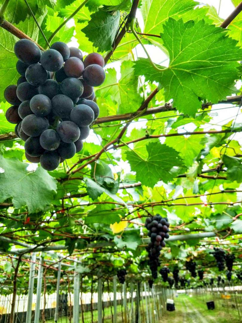 想培育出晶瑩剔透的巨峰葡萄,得花費許多心思。(圖片提供/好時好物)
