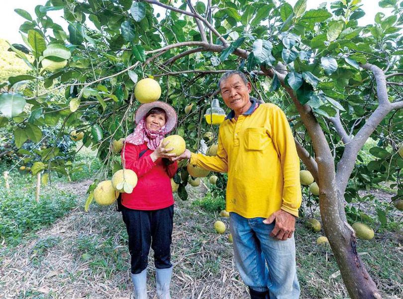「佳樂觀光果園」的主人張寶山與羅紅英夫妻,以友善耕種方式,悉心栽植大白柚等水果。(圖/焦正德攝)