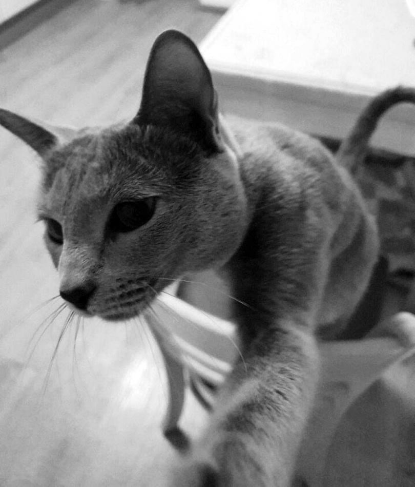 養了俄羅斯藍貓「Mash」的韓韶禧認為,當個稱職的鏟屎官,必須忍耐且別對主子抱有期待。(圖/翻攝自網路)