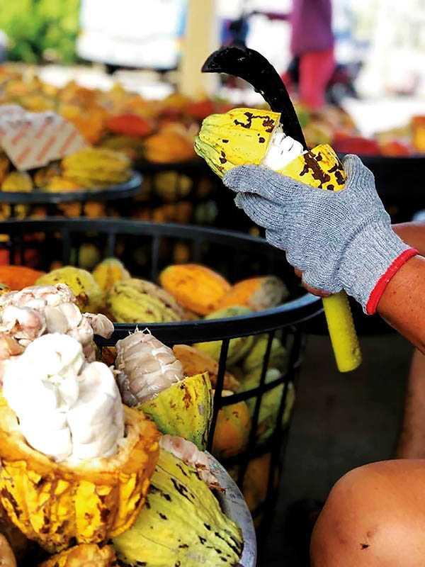 敲殼取籽:取籽置木箱(約47℃)2至3天發酵淡酸。(圖/TC巧鋪)