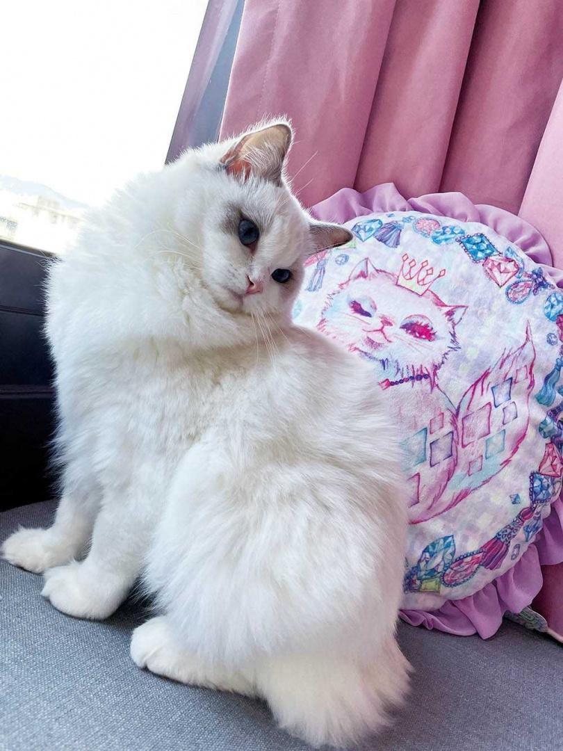 長相和姿態都像個小公主的Luna,和抱枕上的貓十分相像。(圖/翻攝自成語蕎臉書)