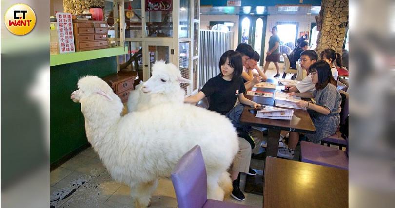 明星羊駝們李白、Snow、Brown每天在餐廳內自由走動。(圖/施岳呈攝)