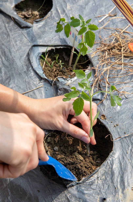 走進番茄園,遊客可親自種下一株番茄幼苗,體驗田園樂趣。(圖/宋岱融攝)