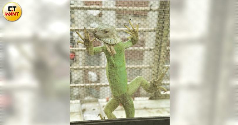 陽台上綠鬣蜥超有力往上爬,彷彿外星人攻地球!(圖/施岳呈攝)
