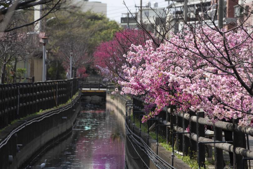「汀甫圳」以富士櫻、墨染櫻、山櫻打造出漸層花林。