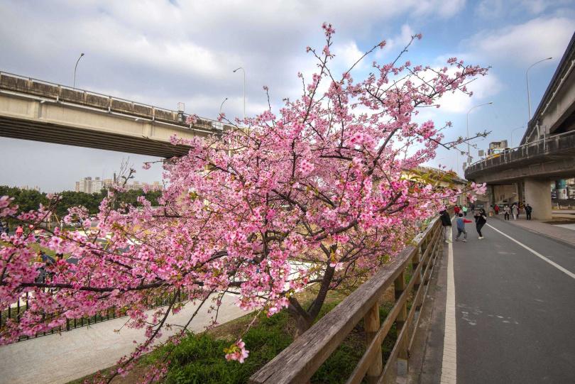 「左岸自行車道」的河津櫻綻放超過100公尺。