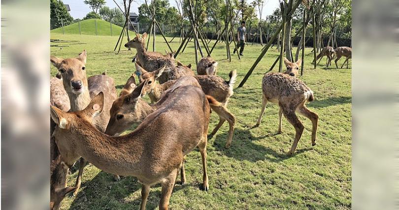 今年新開幕的「斑比山丘」有小鹿群,成為冬山鄉遊玩新熱點。(圖/店家提供)