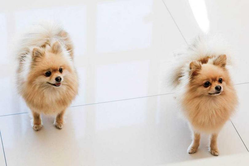 7歲的Doggy(左)與4歲的Toffy(右),兩隻品種為博美,皆是母狗。(圖/李宓提供)