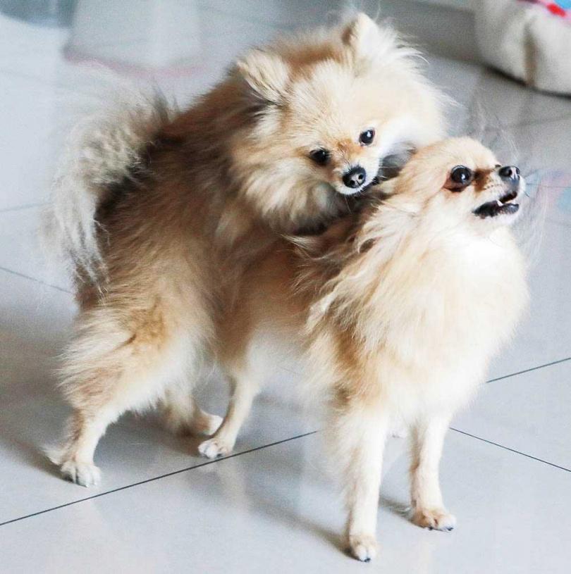 愛動物的李宓,走到哪都帶著2隻博美狗。(圖/林士傑攝)