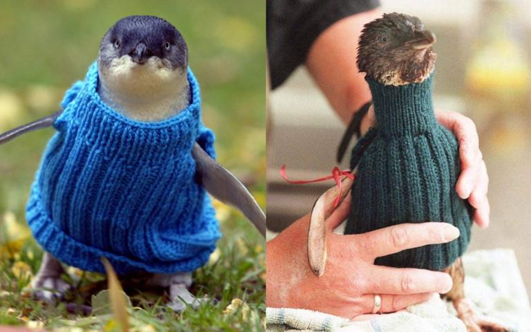 人瑞爺爺也來幫忙!民眾狂織毛衣「保護受傷企鵝」,又是「環境污染」惹的禍!