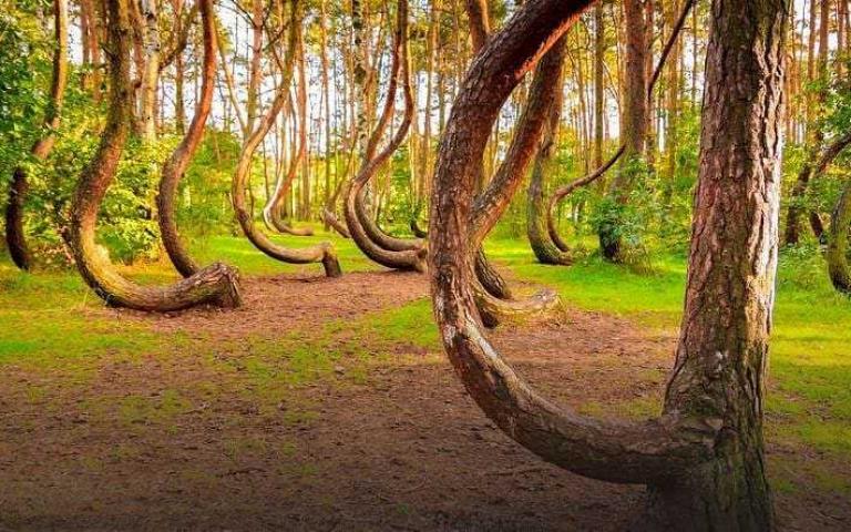 猶如童話般倒過來的問號松樹!神秘的波蘭「彎曲森林」