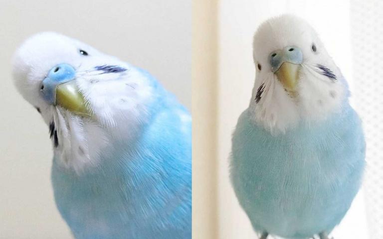 「水藍色大衣」披上身!來自大阪的虎皮鸚鵡,兩滴「夢幻藍眼淚」萌到炸!