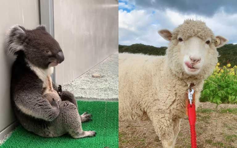 日本觀光農場「超有戲」動物們,無尾熊酒醉大叔、吐舌小羊萌翻網友!