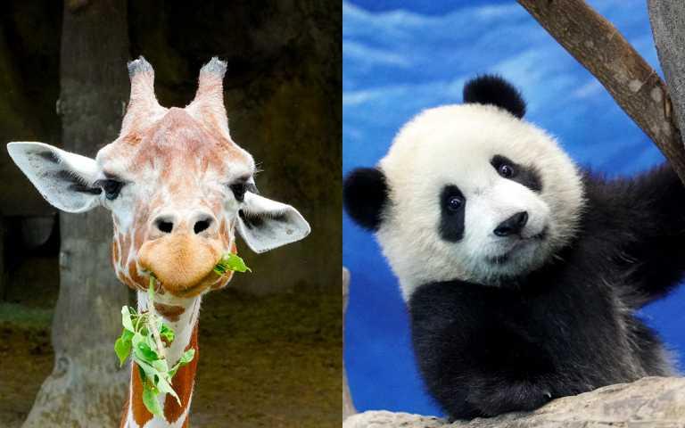 動物IG直播超萌登場!長頸鹿、熊貓、水豚君全都來,讓你防疫在家不無聊!