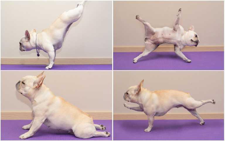 想要增強肌力?馬上跟著「法鬥老師」練習瑜珈,下犬式、棒式都難不倒牠!