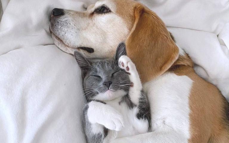大耳朵也可以當「被子」或「眼罩」喔!美國的Chloe與Chlea的貓狗友誼~