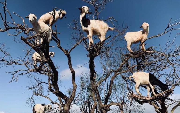 有助生態平衡?只有在摩洛哥才會見到的「山羊上樹」