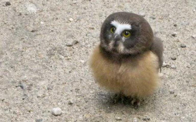 被警察「盤查」的小小貓頭鷹,乖乖的在聽長官訓話!認真的臉有夠可愛的啦~
