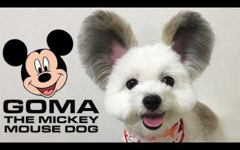 竟然有「米奇狗狗」?可愛Goma引人注目~