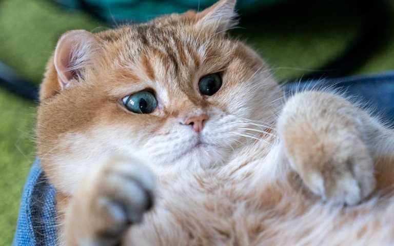 難道這是阿嬤養的貓?俄羅斯胖嘟嘟貓咪,肉多到溢出來啦!