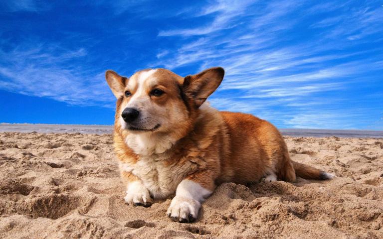 矮子矮一肚子拐?可別小看短腿瓜的本事,我雖然腿矮卻是隻厲害的放牧狗喔~