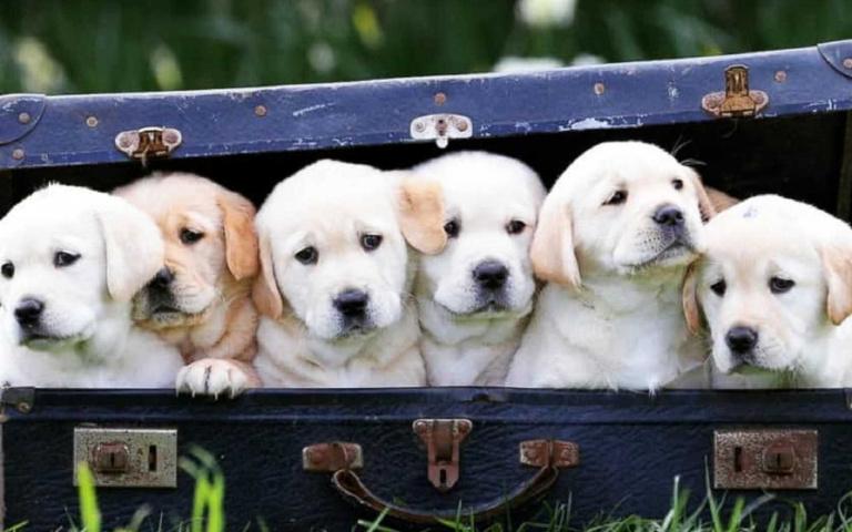 全美最受歡迎的狗狗拉布拉多,聰明、友善任誰看了都會愛上牠!