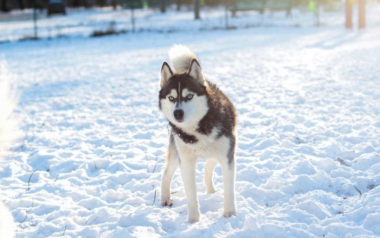 擁有高度反差萌 外表英姿只能看不能信? 哈士奇-最受歡迎的犬種之一 !