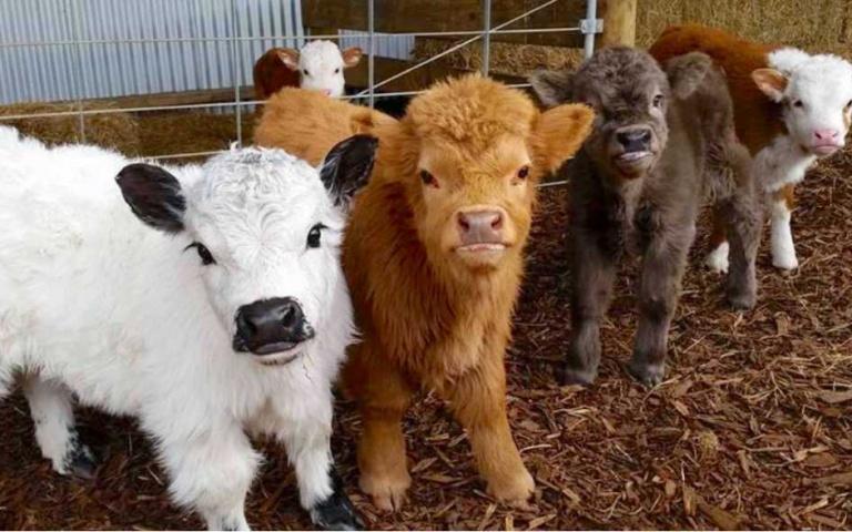 全世界最可愛!毛茸茸「蘇格蘭高地牛」自帶「瀏海」超滑稽,「歪頭吐舌」瘋狂賣萌!