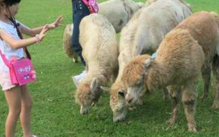 生日1、2、3號免費入園 新竹親子農場推優惠 草泥馬一起散步