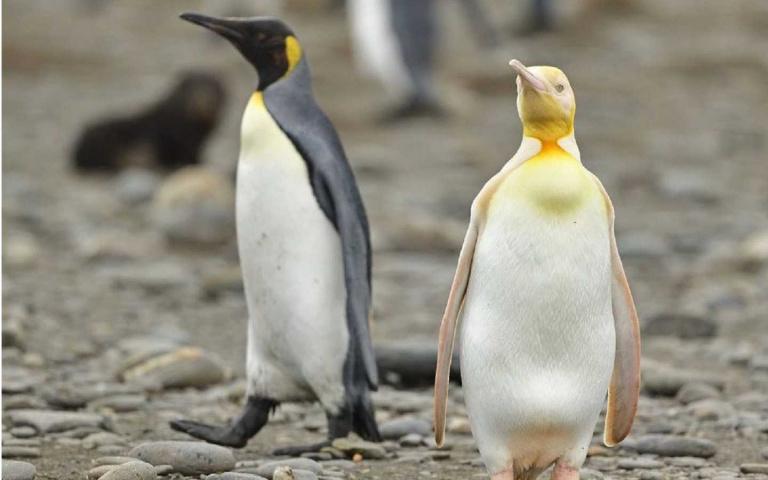 可能是全球唯一的金黃色企鵝!藏身南極12萬隻國王企鵝群中