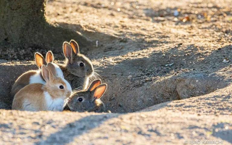 千隻萌兔等你來餵食!遊客銳減兔糧減少中...疫後大久野島衝一波去吧!