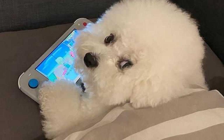 「地表最可愛棉花」就是牠!韓國比熊犬紅透半邊天 崩壞照曝光網友笑翻