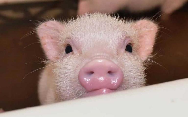 說好的「迷你豬」都是騙人的!一不小心體重就翻倍成長 養不起就看可愛照片乾過癮一波!