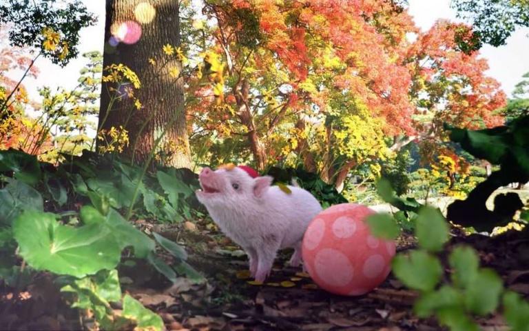 滾起球來平衡感比人還好的粉紅小豬?萌得太完美了