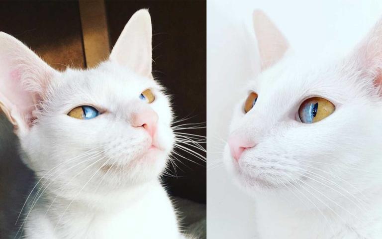 雙眼同時裝進了陽光與海洋!超罕見單眼異色瞳貓咪
