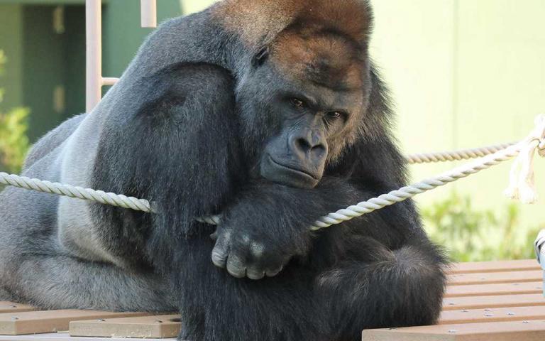 連櫻花妹都淪陷!全球最帥大猩猩夏巴尼,榮登「日本男人的完美榜樣」!