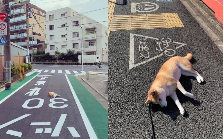 幾乎所有照片都是「躺著拍」!不想回家就直接路倒耍賴的柴犬
