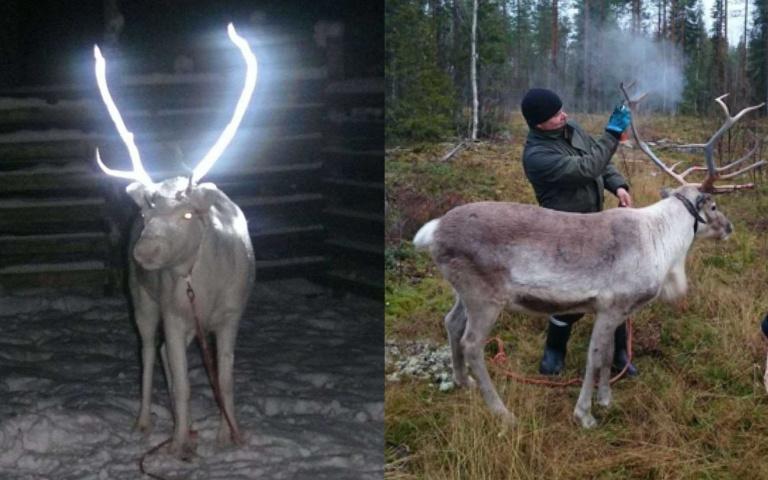 「神獸」掉入現實世界?芬蘭驚見「會發光的馴鹿」,背後原因「有洋蔥」!