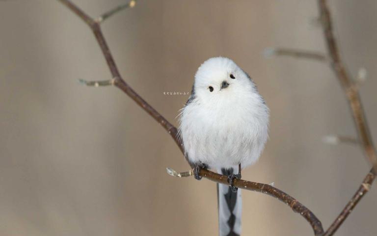 雪地裡的精靈!軟萌圓滾的「銀喉長尾山雀」