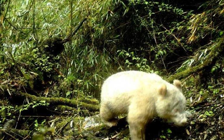 等等!確定不是北極熊嗎?四川「白子」熊貓全球首例!