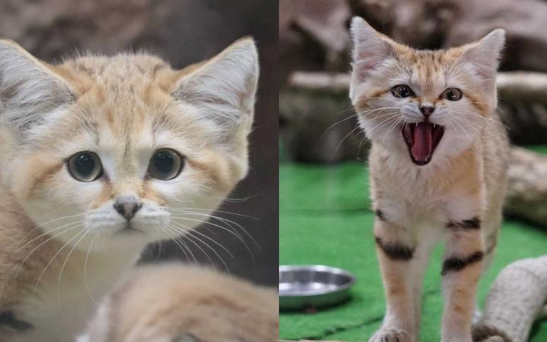 看起來好像都不會變老!性格與外表呈現巨大反差萌的「沙漠貓」