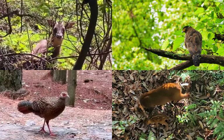 景點沒遊客 超稀有保育類紛紛現身、動物家族出遊