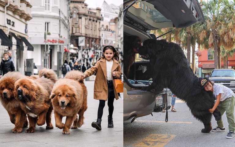 以為自己還是小萌犬的超大巨狗,撒嬌、討抱樣樣來!