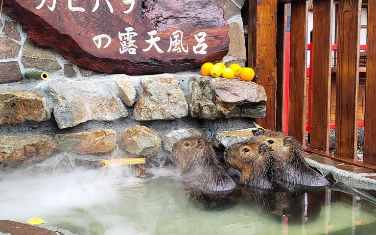 台灣也可以看到水豚君泡湯啦!宜蘭最新景點一秒飛到日本 還有超萌小鹿等你來餵食