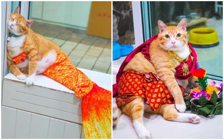 十隻橘貓九隻胖?泰國橘貓大玩cosplay,肚腩大到衣服變形啦!