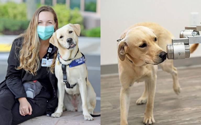 汪汪立大功!美國首隻「COVID-19氣味嗅探犬」成為英雄,抓出確診者「幫人類度過浩劫」!